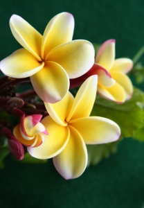 plumeria trio and a baby bud